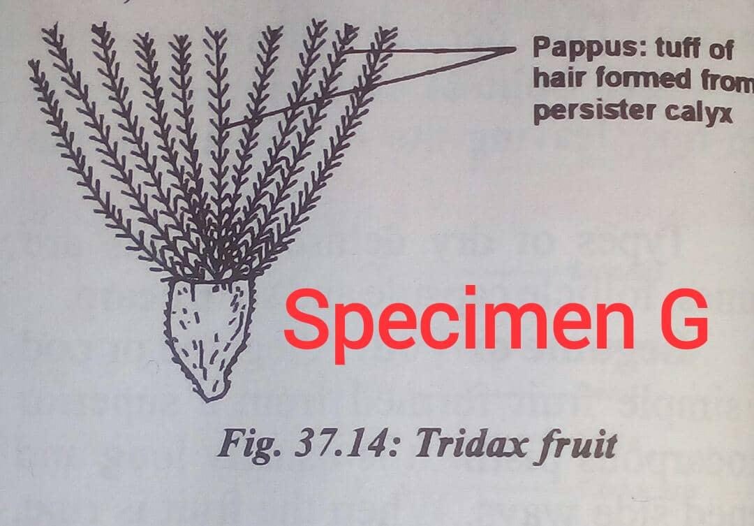 SPECIMEN G - Tridax fruit