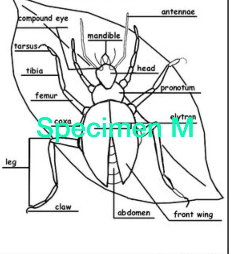SPECIMEN M - Bean weevil