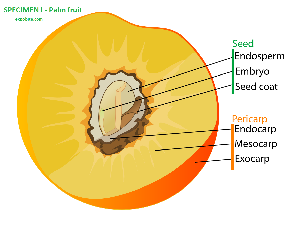 Neco 2021 Agric Science SPECIMEN I - Palm fruit